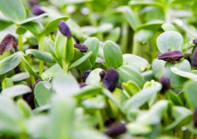 Microgreens / Sprossengrün